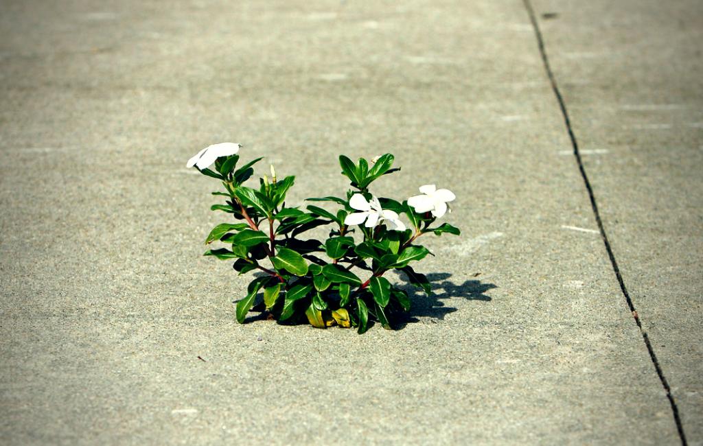 white vincas blooming through a sidewalk